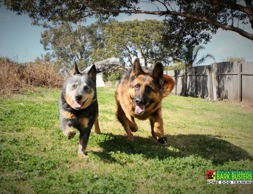 Does Your Dog Love To Chase Moving Things?