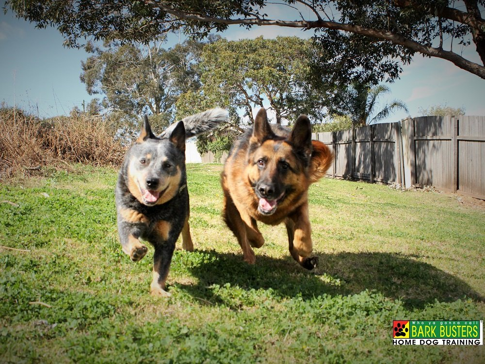 dogs_chasing_barkbusters